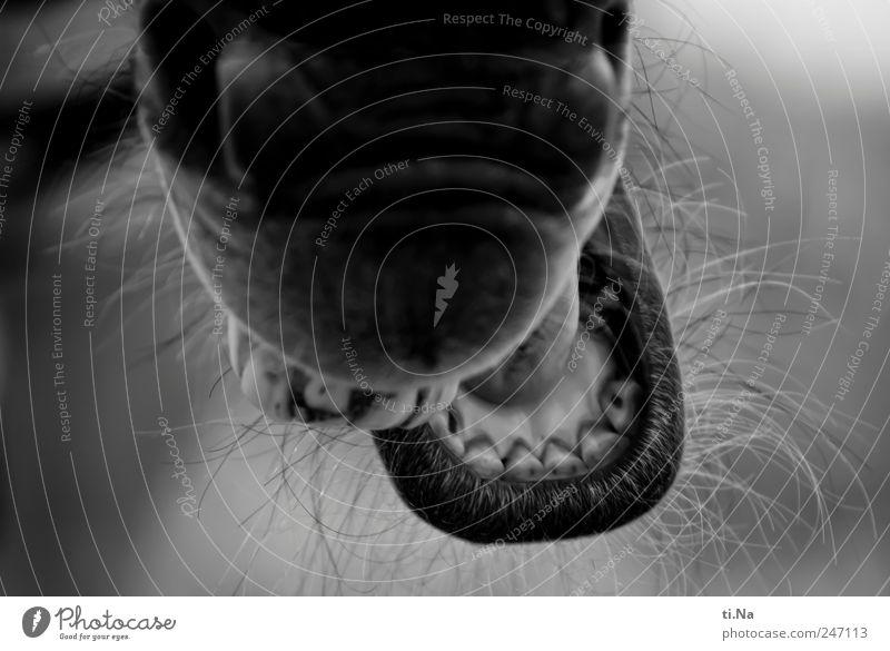 ich hab die Zähne schön Zirkus Wildtier Zoo Zebra Maul 1 Tier Fressen authentisch wild grau schwarz weiß Schwarzweißfoto Nahaufnahme Tag Schwache Tiefenschärfe