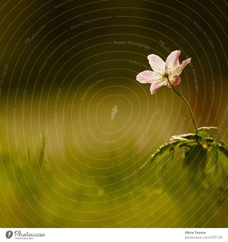 Beobachter und Genießer Natur Pflanze Frühling Blume Gras Blatt Blüte Buschwindröschen Wiese beobachten Blühend entdecken Wachstum ästhetisch grün violett weiß