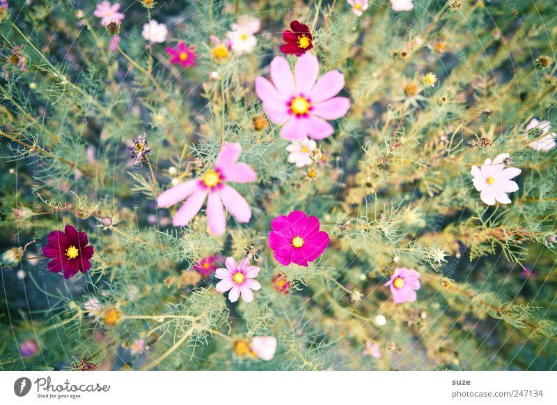 Ich ess Blumen ... Natur grün schön Pflanze Sommer Blume Blüte Frühling rosa hoch Wachstum natürlich zart viele Blühend Freundlichkeit