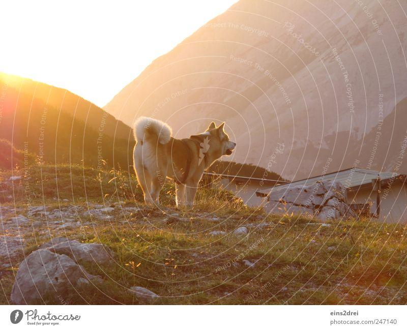 Hund in Gold Berge u. Gebirge Landschaft Sonnenlicht Sommer Dorf Hütte Dach Haustier 1 Tier Stein beobachten hören Blick stehen natürlich Neugier gelb gold