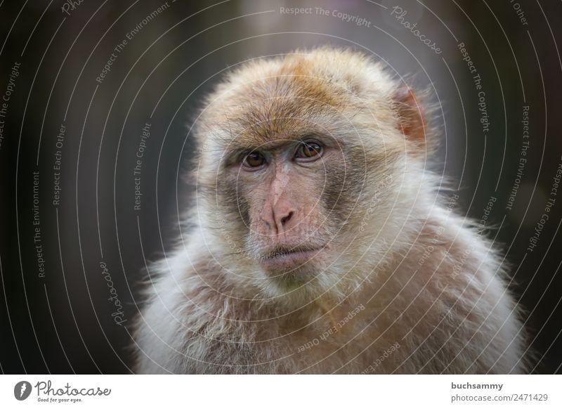 Berber Affe Zirkus Zoo Tier Wildtier Tiergesicht Fell 1 Blick braun Traurigkeit Berberaffen Makaken Menschenaffen Säugetier Affen Deutschland Farbfoto