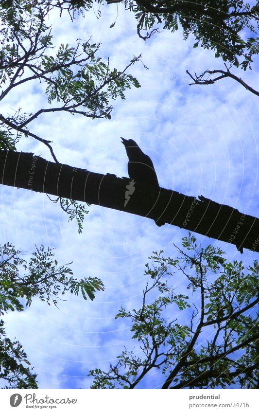 ein vogel ist schon da Himmel Baum blau schwarz Ast Rabenvögel