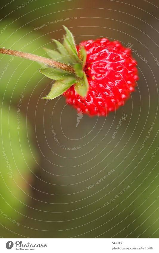 Wald-Erdbeere II Frucht Natur Pflanze Sommer Nutzpflanze Beeren Garten frisch lecker rund süß grün rot essbar Heilpflanzen Juni fruchtig reif Textfreiraum