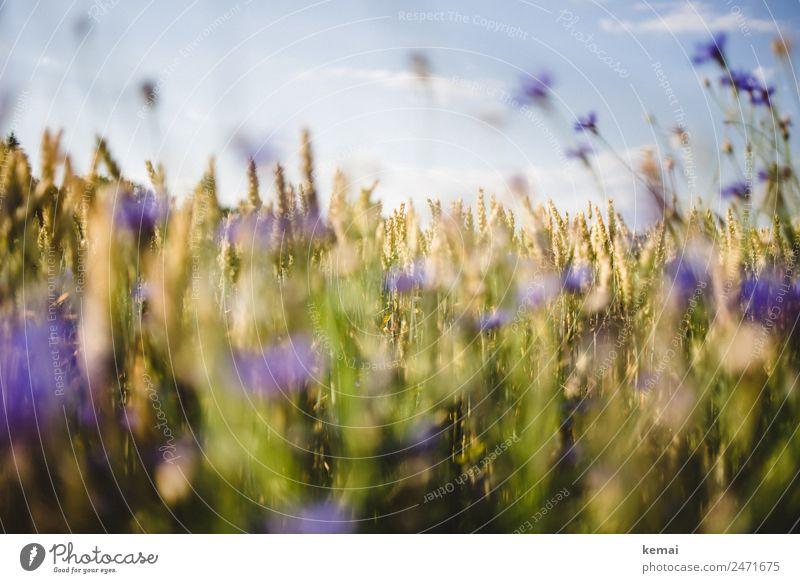 Sommerfeld Leben harmonisch Wohlgefühl Sinnesorgane Erholung ruhig Freizeit & Hobby Natur Pflanze Himmel Schönes Wetter Blume Nutzpflanze Weizen Weizenfeld Feld