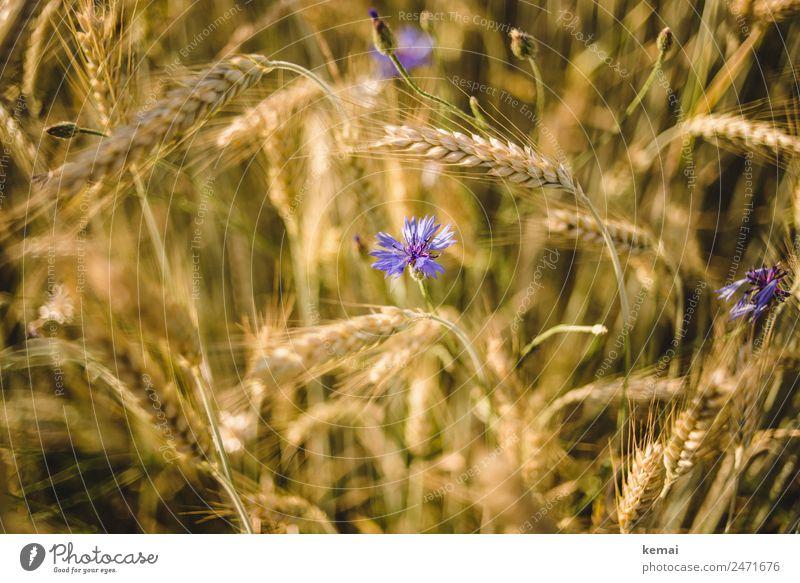 Korn und Blume harmonisch Wohlgefühl Zufriedenheit ruhig Natur Pflanze Sommer Schönes Wetter Wärme Nutzpflanze Kornblume Gerste Gerstenfeld Feld Blühend
