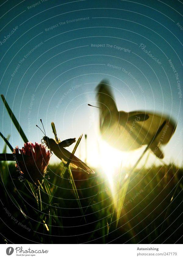 Kampf um die Blume Umwelt Natur Landschaft Pflanze Tier Luft Himmel Wolkenloser Himmel Sonne Sommer Wetter Schönes Wetter Gras Blatt Blüte Grünpflanze Wiese
