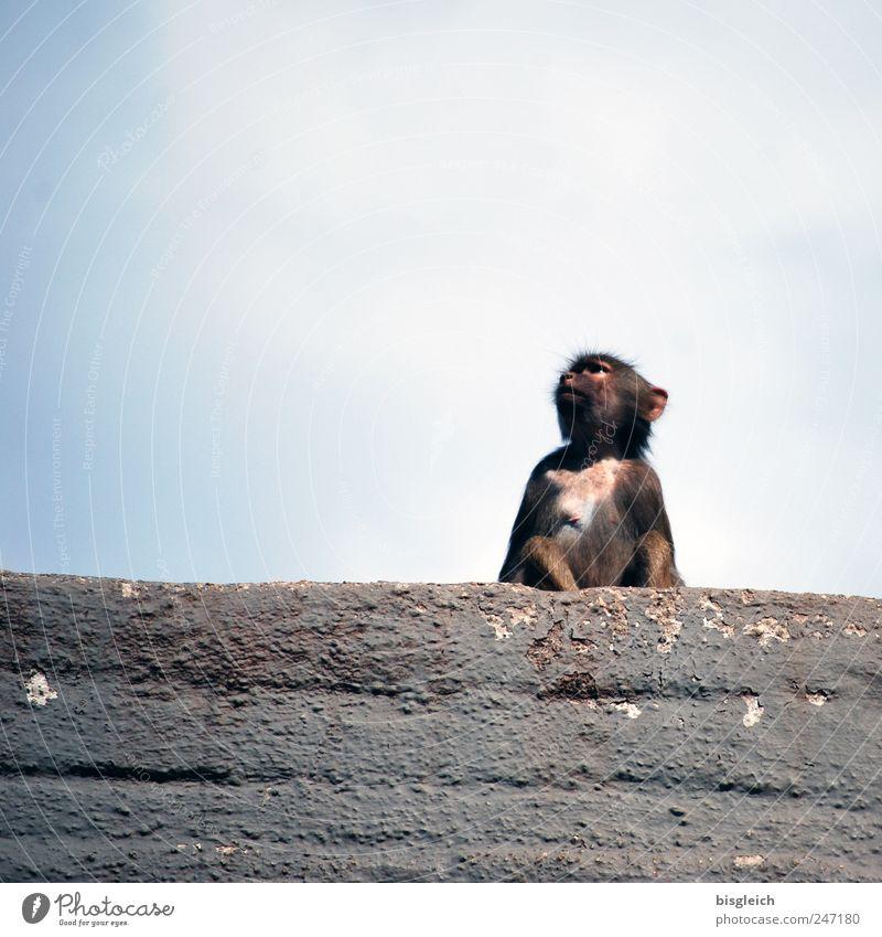 Äffchen Himmel blau Tier grau Tierjunges sitzen Felsen Wildtier Zoo Affen Pavian