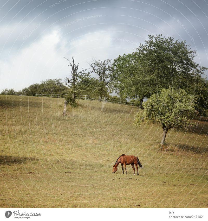 koppel Umwelt Natur Landschaft Pflanze Tier Himmel Wolken Sommer Baum Gras Sträucher Wiese Nutztier Pferd 1 blau braun grün Weide Fressen Farbfoto Außenaufnahme
