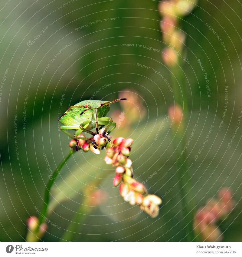 Grünling Auge Brust Beine Tier Pflanze Sträucher Käfer Baumwanze Grüne Blattwanze 1 Fressen krabbeln grün Waldwiese Knöterich Insekt Imago Farbfoto