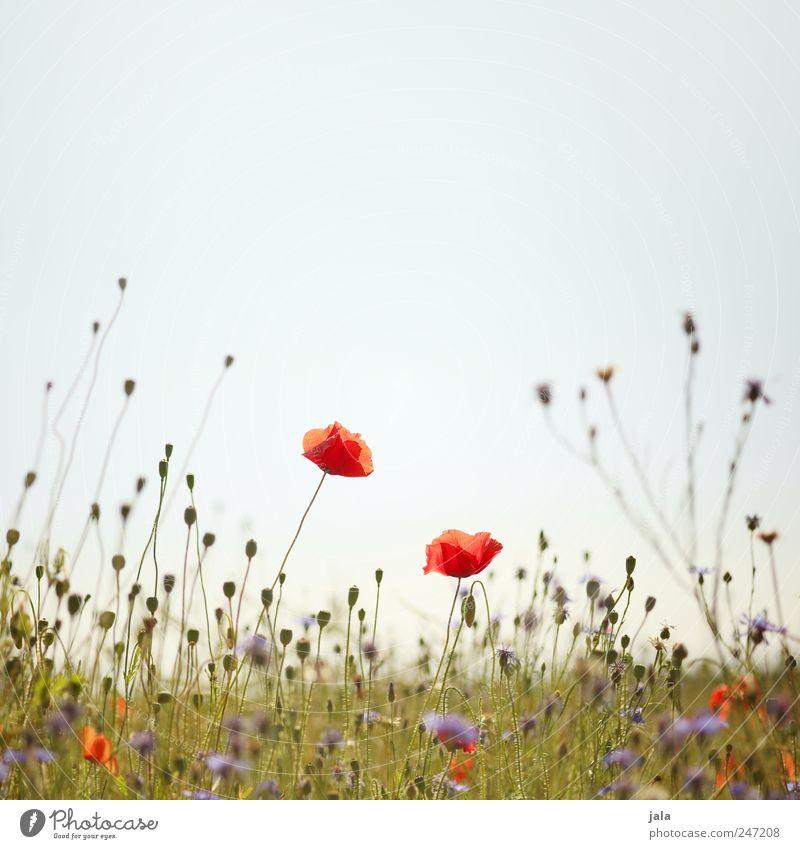 mohn Umwelt Natur Pflanze Himmel Frühling Blume Gras Wildpflanze Wiese natürlich blau grün rot Mohn Mohnblüte Kornblume Farbfoto Außenaufnahme Menschenleer
