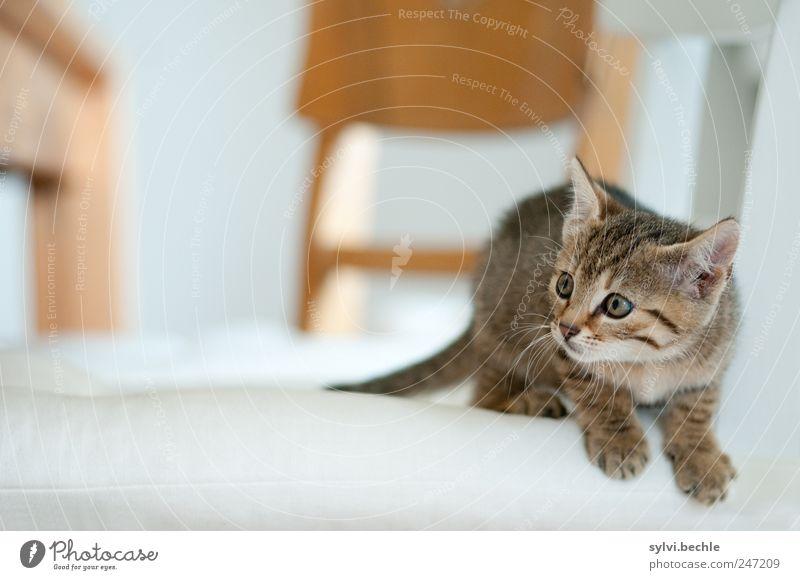 Und weg! Häusliches Leben Wohnung Möbel Stuhl Tisch Tier Haustier Katze Fell Pfote 1 Tierjunges beobachten warten kuschlig niedlich weich braun weiß Neugier
