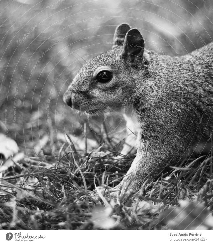 hörnchen. Garten Park Wiese Tier Wildtier Tiergesicht Fell Eichhörnchen 1 außergewöhnlich Neugier Schwarzweißfoto Außenaufnahme Menschenleer