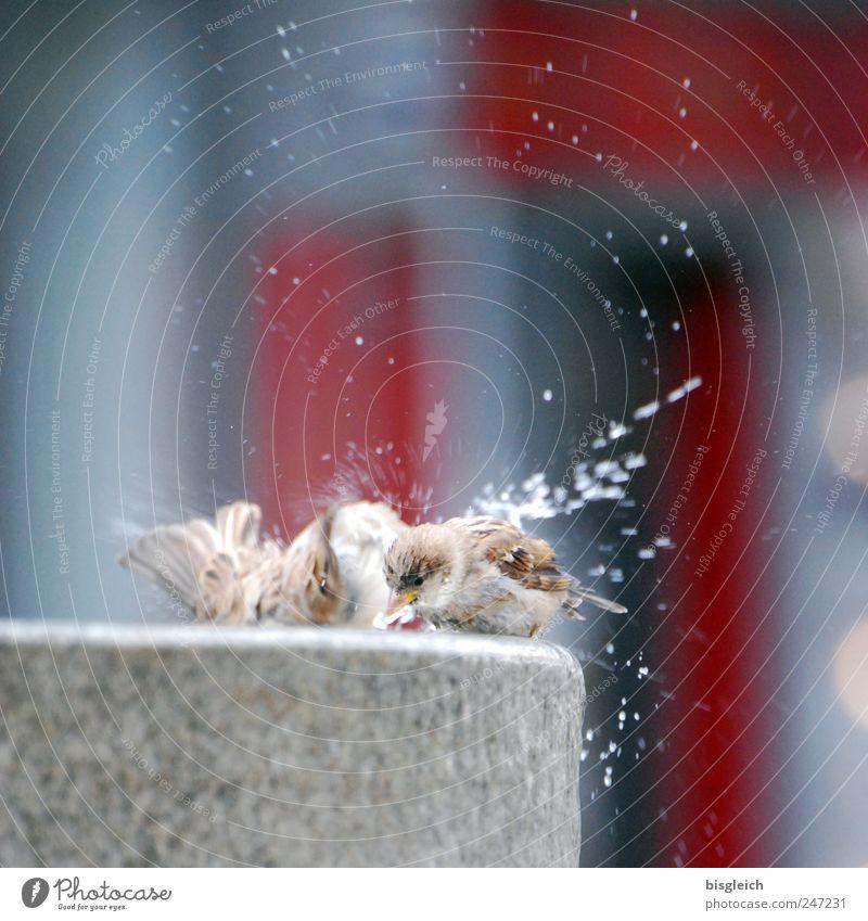 Spatzenwäsche Tier Vogel Flügel 2 Tierpaar Brunnen Stein Schwimmen & Baden frisch grau rot Lebensfreude Wassertropfen Farbfoto Gedeckte Farben Außenaufnahme
