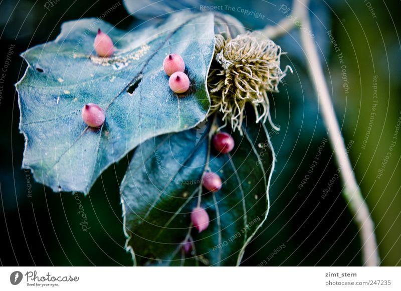 rote knubbel Natur alt blau grün Baum Pflanze Blatt ruhig dunkel braun glänzend ästhetisch
