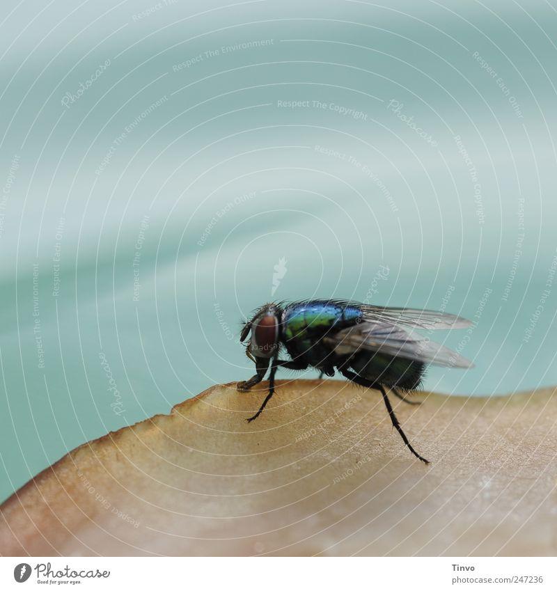 Schmeißfliege auf Aufschnitt blau Tier Ernährung Wildtier Fliege Insekt Ekel Wurstwaren saugen Makroaufnahme