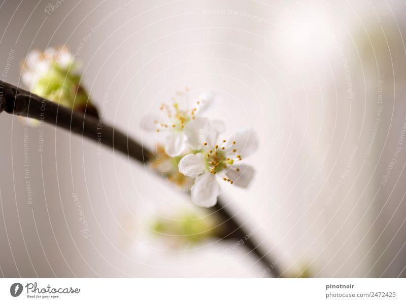 Kirschblüte Natur Pflanze Frühling Blühend Wachstum ästhetisch frisch schön weich gelb grün weiß Warmherzigkeit Leben Lebensfreude Leichtigkeit