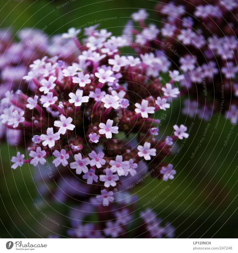 L i L a Natur schön Pflanze Blume Umwelt klein Garten Park Vergänglichkeit violett Lebensfreude Freude