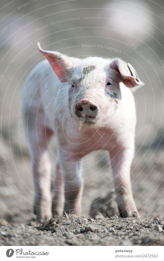 Cute happy baby pig with ear tag Feld 1 Tier Tierjunges stehen lustig rosa agriculture animal barn barnyard cute dirt domestic farm farmyard head hog little mud