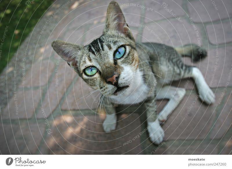 Katz Tier Haustier Katze Tiergesicht Fell 1 Tierjunges hören Blick Coolness elegant Neugier niedlich dünn schön blau grau Tierliebe Verliebtheit Treue Trägheit