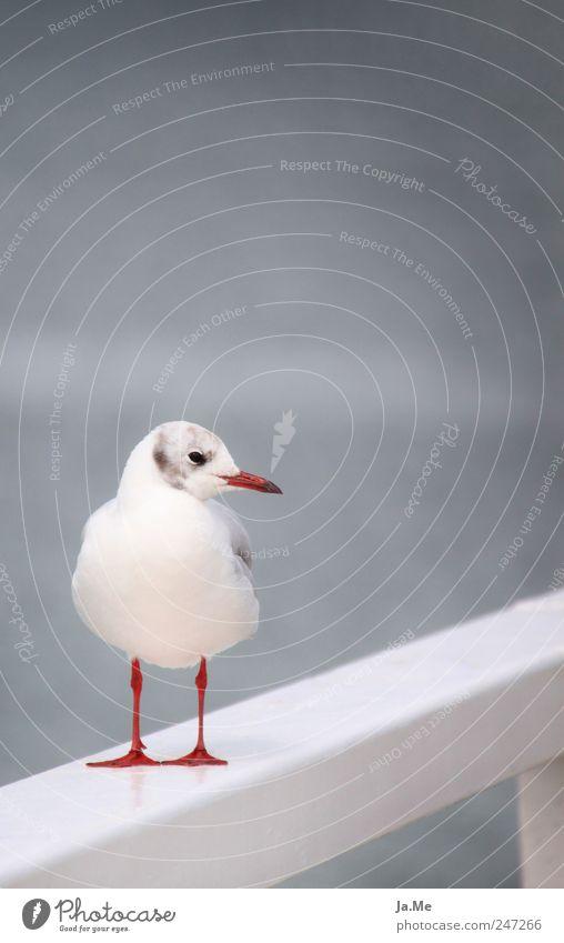 Möwe grau in grau Umwelt Natur Tier Wildtier Vogel 1 ruhig Lachmöwe Ganzkörperaufnahme Vor hellem Hintergrund Freisteller Farbfoto Außenaufnahme Detailaufnahme