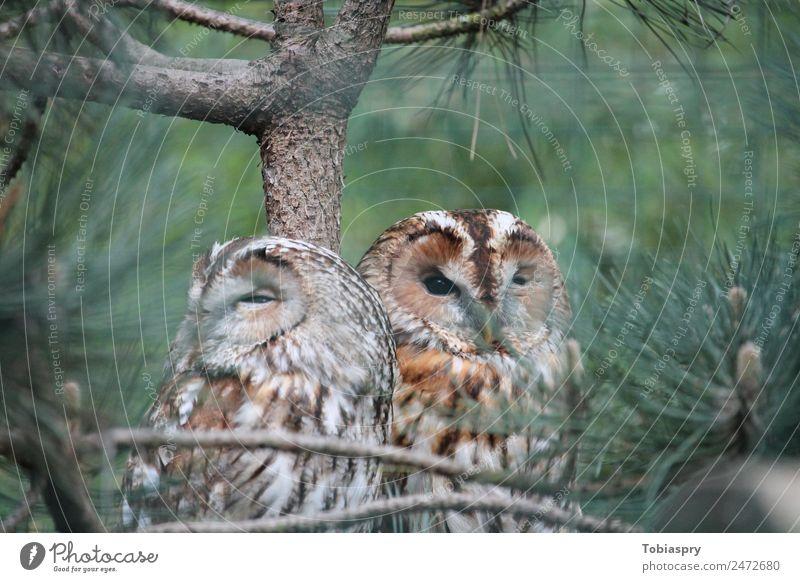 Zwei Uhus im Baum grün Tier Holz Vogel braun Tierpaar Wildtier