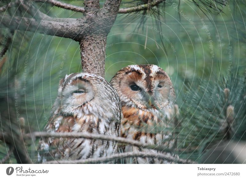 Zwei Uhus im Baum Tier Wildtier Vogel 2 Tierpaar Holz braun grün Strigidae Farbfoto Außenaufnahme Tag Unschärfe Totale Tierporträt