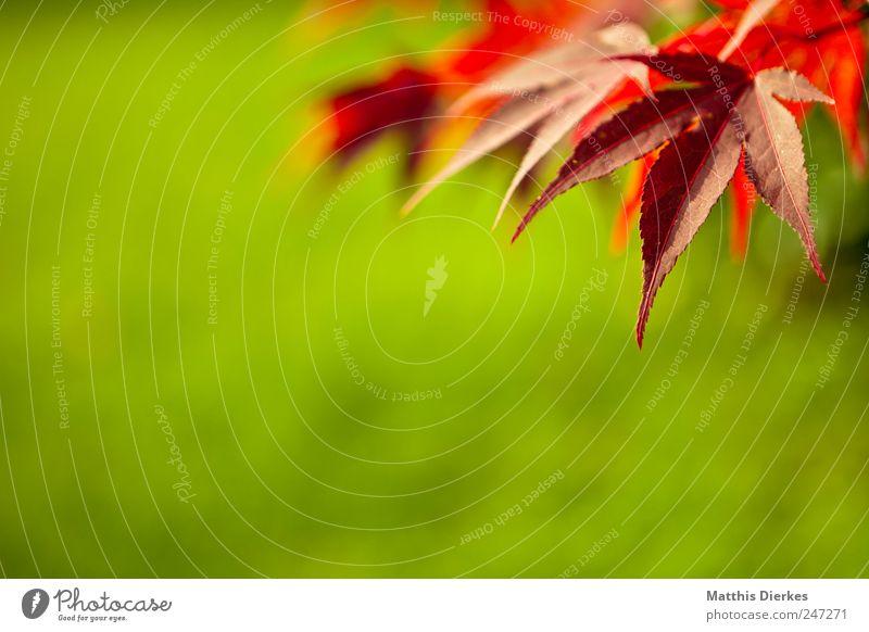 Textfreiraum: Grün Umwelt Natur Pflanze Sommer Blatt Grünpflanze Wildpflanze exotisch Garten Park ästhetisch schön grün rot Handzettel Botanik Hintergrundbild