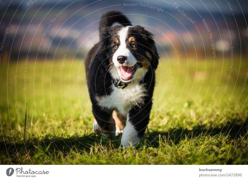 Berner Sennenhund Welpe auf einer Wiese haustier Stufe welpe Hund im Freien Dschungel süß menschenleer keine menschen niedlich Draussen Blick in die Kamera