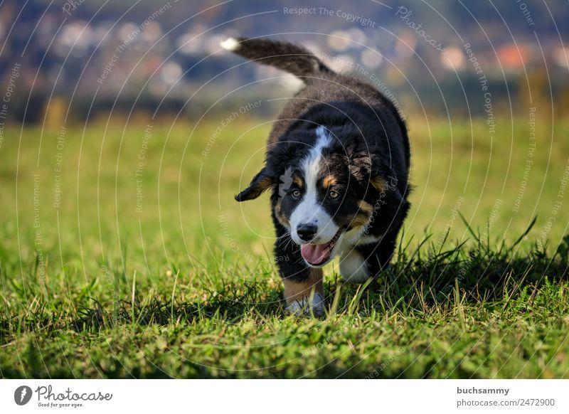 Junger Bernersennenhund Berner Sennenhund haustier herbst Stufe welpe Tier Kanon Hund Haustier Welpen jung menschenleer Dschungel