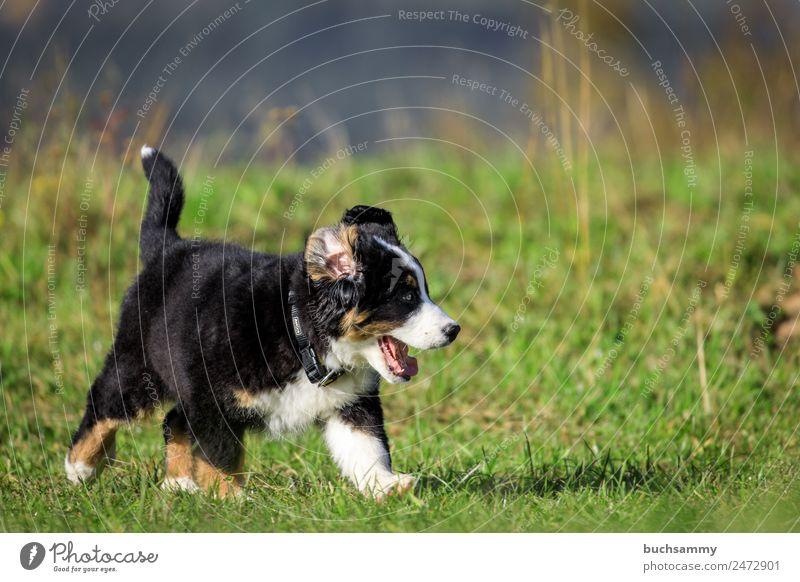 Berner Sennenhund Welpe Umwelt Natur Pflanze Tier Herbst Gras Grünpflanze Wiese Haustier Hund 1 Tierjunges rennen Spielen toben Fröhlichkeit verrückt wild braun