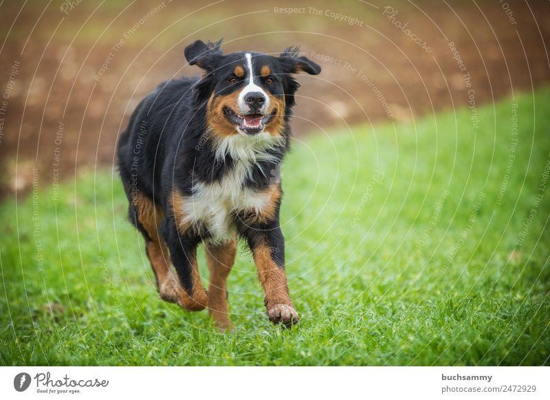 Berner Sennenhund Haustier Natur dog outdoor pet rennen Action bester freund des menschen? bester Freund Rassehund Wiese freude lebensfreude