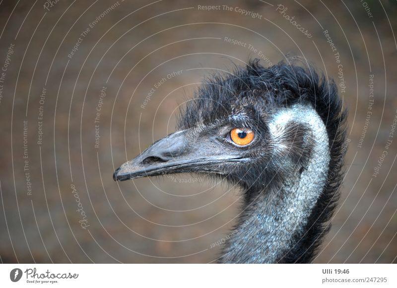 Nein, ich bin kein Vogel Strauß! schön Tier schwarz grau Erde Vogel wild Wildtier groß Geschwindigkeit Flügel Feder beobachten Neugier Tiergesicht dünn