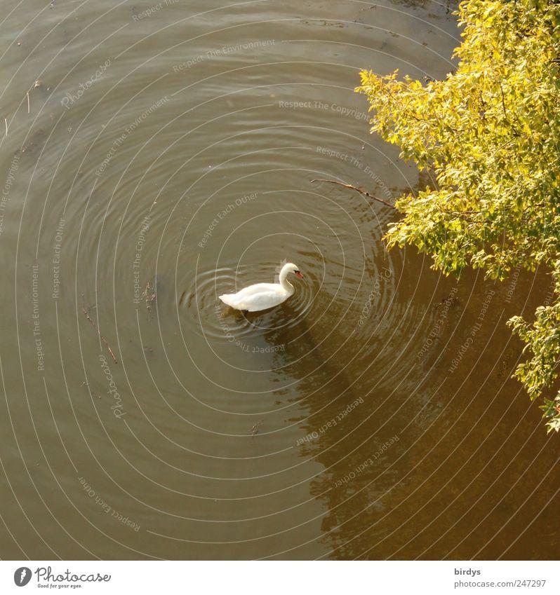 Schwanensee Sommer Schönes Wetter Baum Seeufer 1 Tier Schwimmen & Baden natürlich Bewegung Frieden Idylle Natur Kreis Wasser Wellen rund weiß grün Farbfoto