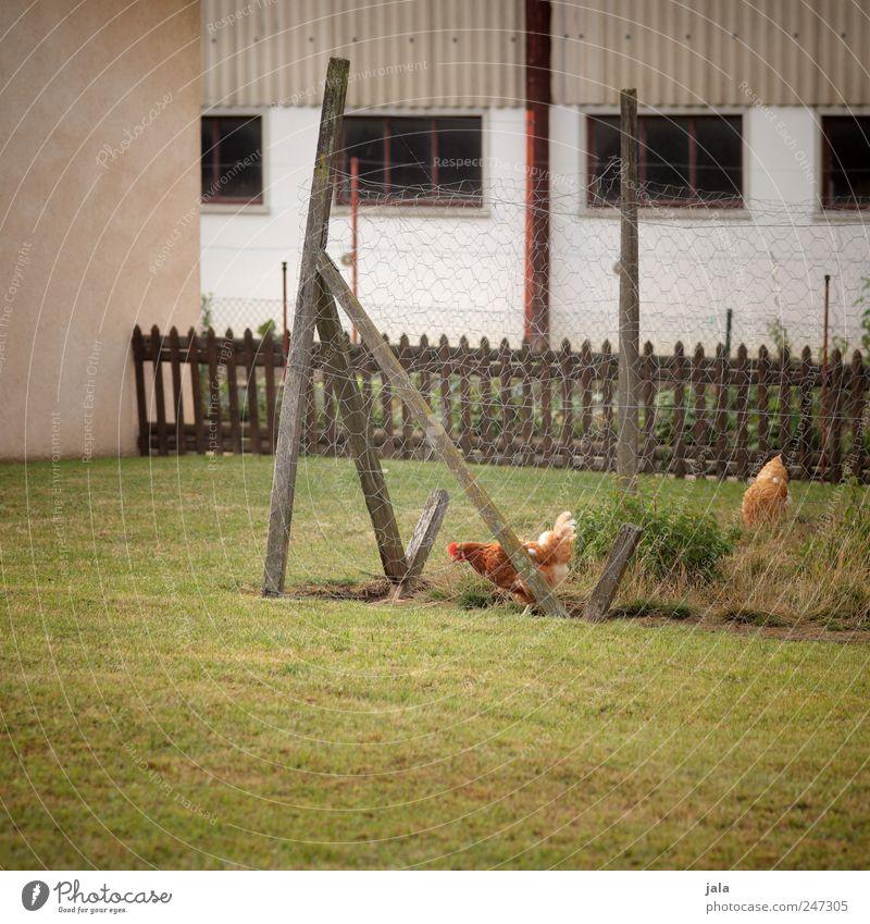 hühnerhof Natur Pflanze Gras Haus Bauwerk Gebäude Mauer Wand Fassade Fenster Tier Haushuhn 2 natürlich braun grau grün Zaun Stall Farbfoto Außenaufnahme