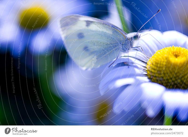 Kohlweißling auf einer Magarite Umwelt Natur Pflanze Sommer Schönes Wetter Blume Blüte Wildpflanze Wiese Tier Schmetterling 1 natürlich schön blau Umweltschutz