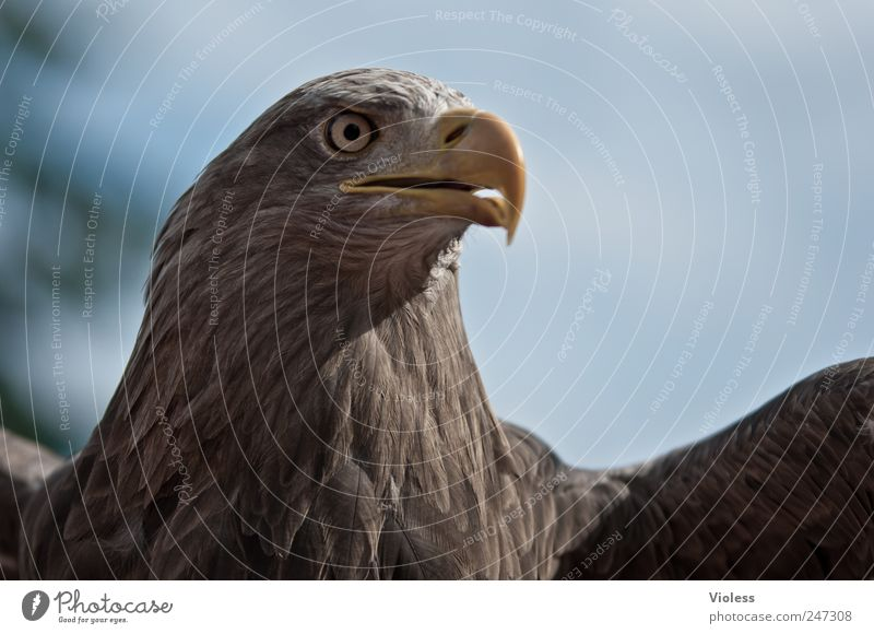 PIEP - GROSSER VOGEL Tier braun Vogel Kraft fliegen Flügel Adler Greifvogel Adleraugen
