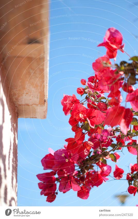 Mädchenfoto Ferien & Urlaub & Reisen schön Pflanze Sommer rot Tier Wand Mauer Blüte rosa Schönes Wetter ästhetisch Blühend trocken violett Wolkenloser Himmel