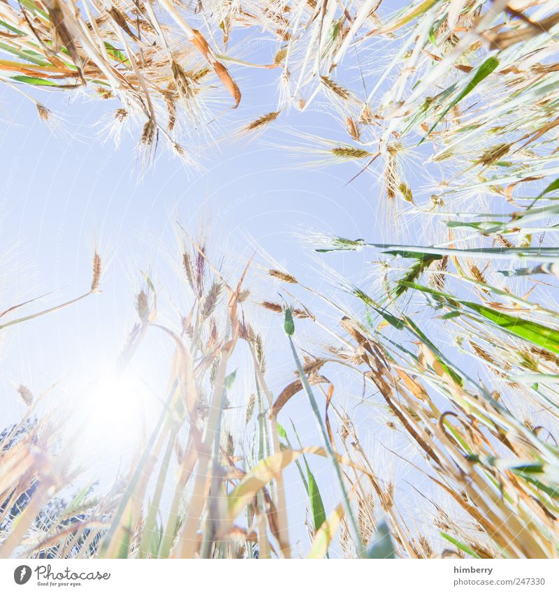kornborn Himmel Natur Pflanze Sommer Sonne Landschaft Kunst Lebensmittel hell Feld Wachstum Ernährung Vergänglichkeit Schönes Wetter Landwirtschaft Getreide