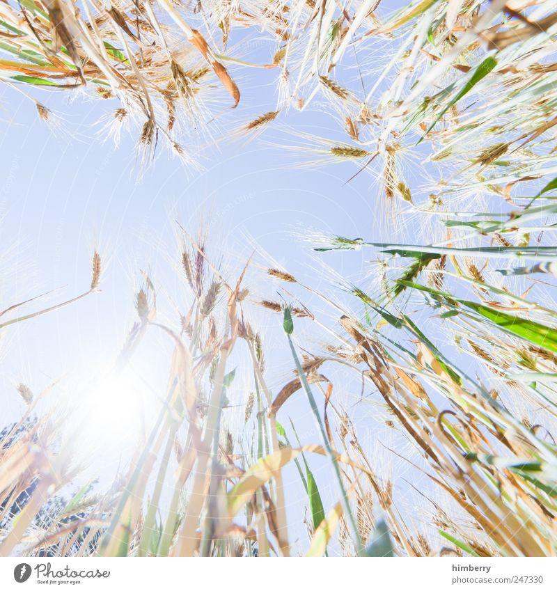 kornborn Lebensmittel Getreide Ernährung Landwirtschaft Forstwirtschaft Kunst Natur Landschaft Pflanze Himmel Wolkenloser Himmel Sonne Sonnenlicht Sommer