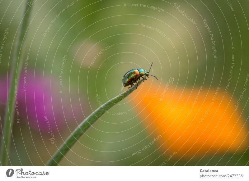 Entscheidung fällig Natur Sommer schön Farbe grün Tier Umwelt Gras orange Design glänzend Fröhlichkeit Halm Käfer krabbeln schillernd