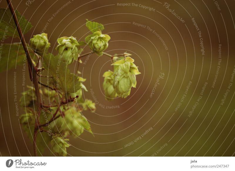 humulus Natur grün Pflanze Blatt Umwelt braun natürlich Grünpflanze Hopfen Nutzpflanze