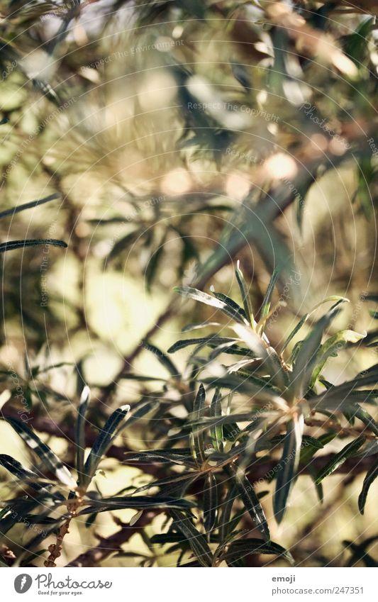Stacheldraht, natürlich Natur Pflanze Sträucher grün Sanddorn Sanddornblatt stachelig Farbfoto Außenaufnahme Nahaufnahme Detailaufnahme Makroaufnahme