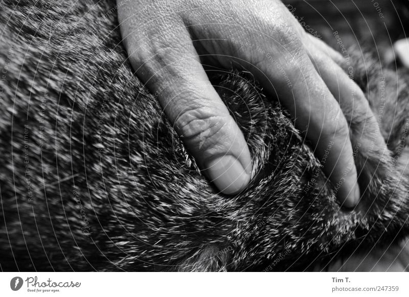 Katzenliebe Mensch maskulin Hand 1 Tier Haustier Fell Gefühle Verschwiegenheit Warmherzigkeit Sympathie Freundschaft Zusammensein Tierliebe Schwarzweißfoto