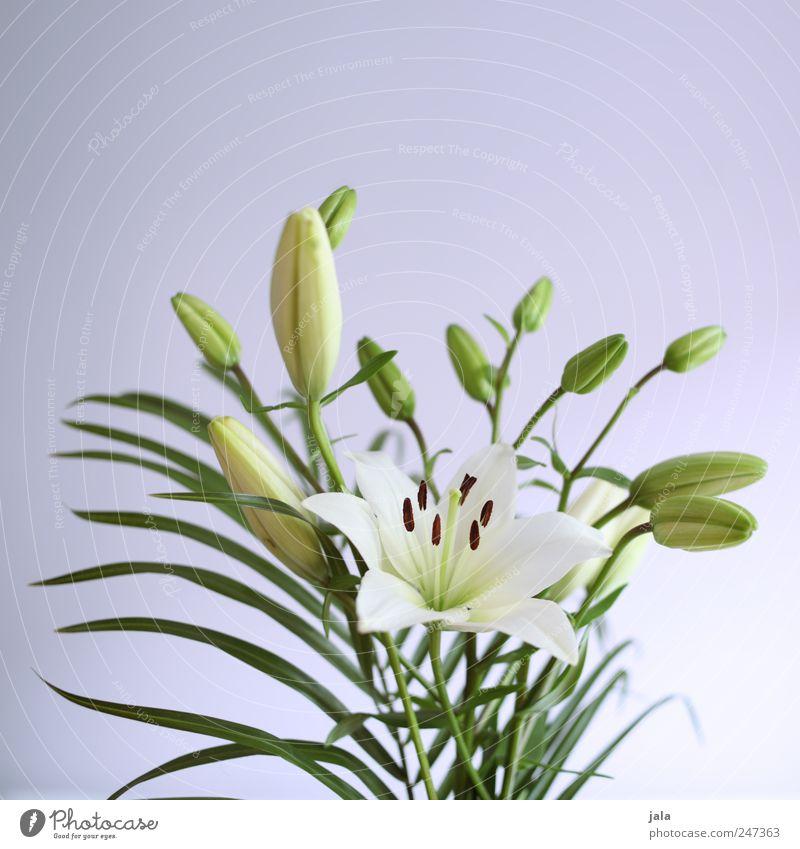 lilien Häusliches Leben Wohnung Dekoration & Verzierung Natur Pflanze Blume Blüte ästhetisch schön grün violett weiß Lilien Blumenstrauß Farbfoto Innenaufnahme