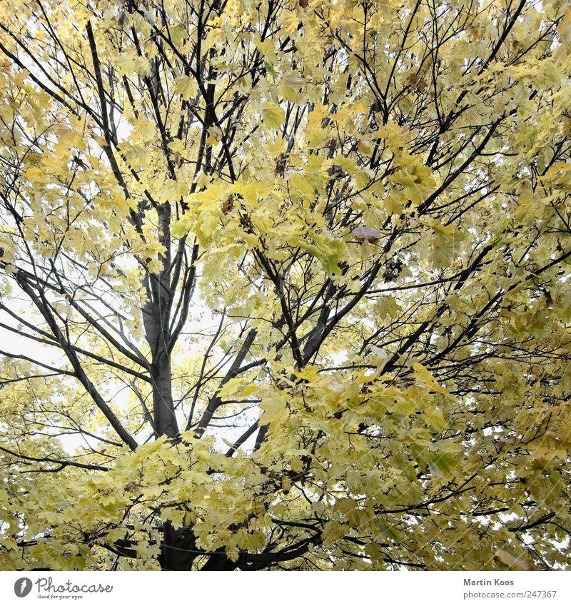 Blatt-Werk Natur Baum Pflanze Farbe Herbst Landschaft Umwelt Zeit Design ästhetisch Klima Wachstum Wandel & Veränderung rein Idylle