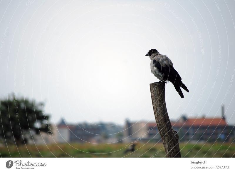 Ausguck Himmel Baum Ferne Haus Tier grau Vogel sitzen Flügel Sehnsucht Aussicht Krähe Holzpfahl Häuserzeile Dohle