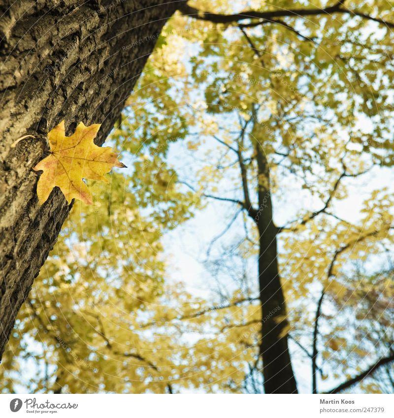 Blatt-Werk Umwelt Natur Landschaft Pflanze Herbst Klima Wetter Schönes Wetter Baum Farbe Wachstum Zeit Baumstamm Ahorn Ahornblatt Farbfoto Außenaufnahme