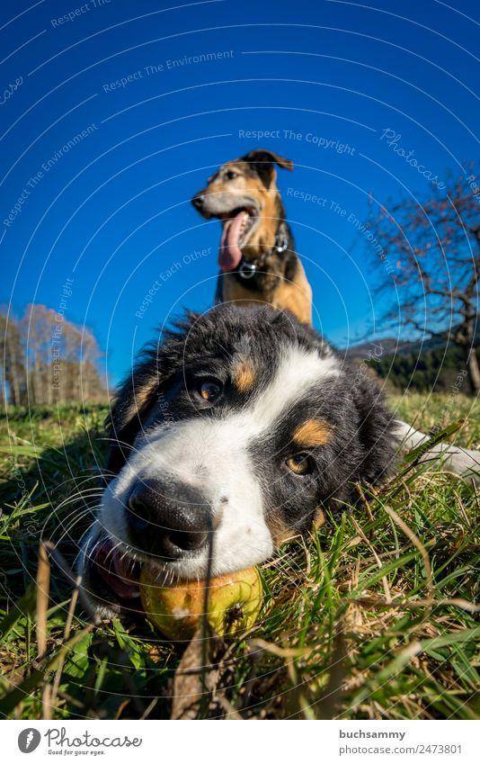Jung und Alt Tier Haustier Hund 2 Tierjunges Spielen blau braun grün schwarz Berner Sennenhund Natur Welpe Farbfoto mehrfarbig Außenaufnahme Textfreiraum oben