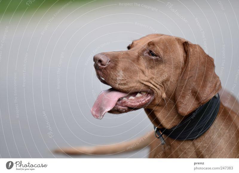 Vizsla Tier grau Kopf Hund Park braun Haustier Zunge Schwanz Jagdhund Hundehalsband Ungarisch Rassehund