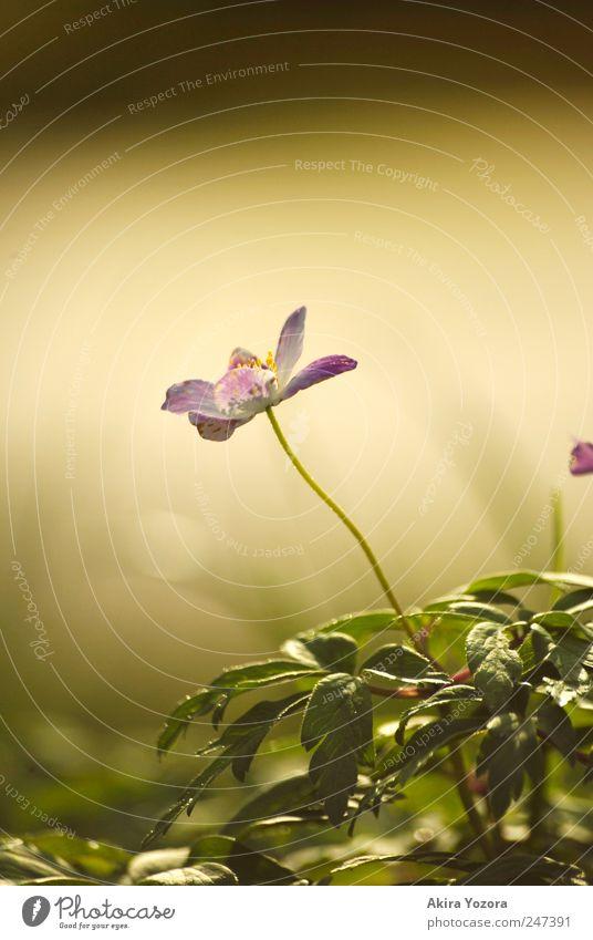 Dem Licht entgegen wachsen Natur Pflanze Frühling Blume Gras Blatt Blüte Buschwindröschen Wiese Blühend Wachstum gelb grün violett schwarz Umwelt Farbfoto
